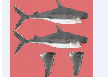 Shark_PT2_15