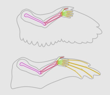 wings_1-4_wing_anatomy_use_your_arm