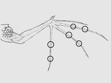 wings_3-3_batwing_dragon_arm_drawn