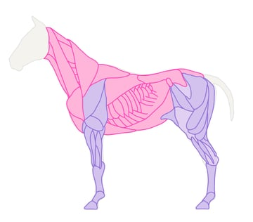 drawinghorse_3-2_muscles