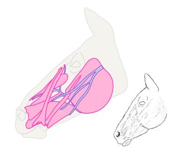 drawinghorse_5-7_head_profile