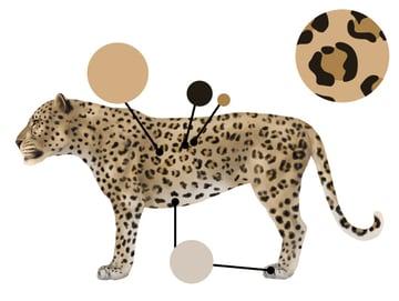 drawingbigcats_1-3_leopard_colors