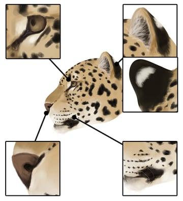 drawingbigcats_2-7_jaguar_head_details_profile
