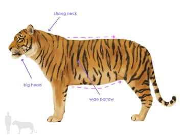 drawingbigcats_3-1_tiger_silhouette