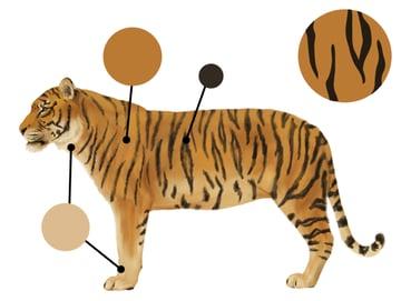 drawingbigcats_3-3_tiger_colors