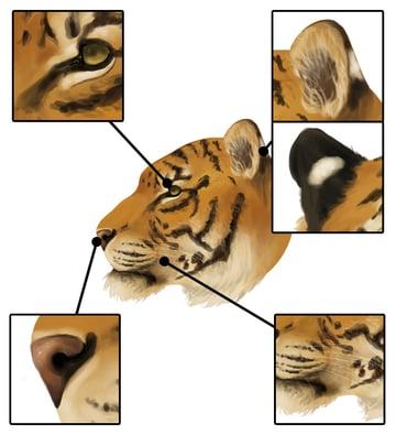 drawingbigcats_3-7_tiger_head_details_profile_