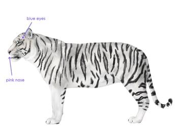 drawingbigcats_3-9_white_tiger