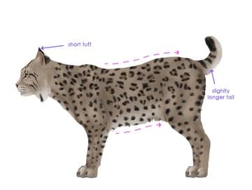 drawingbigcats_4-10_bobcat