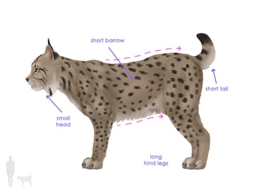 drawingbigcats_4-1_lynx_silhouette