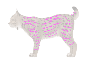 drawingbigcats_4-4_lynx_spots