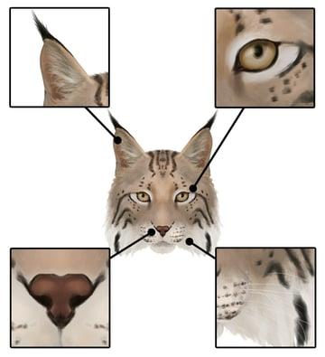 drawingbigcats_4-7_lynx_head_details_front