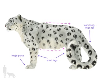 drawingbigcats_5-1_snow_leopard_silhouette