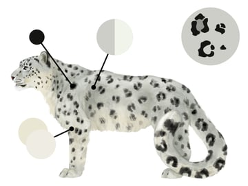 drawingbigcats_5-3_snow_leopard_colors