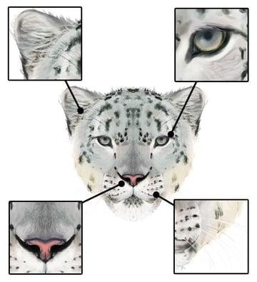 drawingbigcats_5-7_snow_leopard_head_details_front