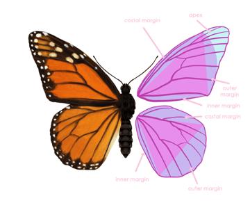 drawingbutterfly_2-4_wing_anatomy