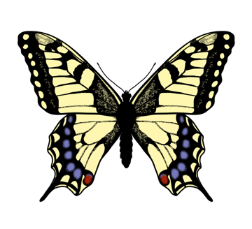 drawingbutterfly_6-6_swallowtail