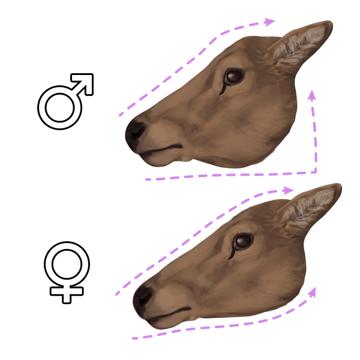 drawingdeer-4-14-doe-head