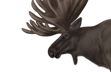 drawingdeer-5-6-moose-head-details