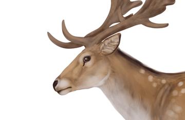 drawingdeer-5-7-fallow-deer-head-details