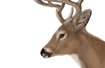 drawingdeer-5-9-white-tail-deer-head-details