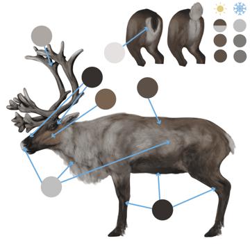 drawingdeer-6-2-reindeer-colors