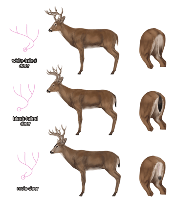 drawingdeer-6-7-black-tailed-white-tailed-mule-deer-difference
