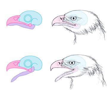 howtodrawbird-3-1-beaks-bird-skull