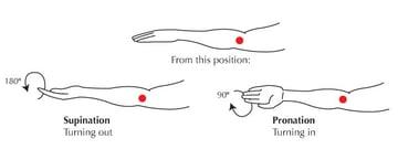 The Forearm