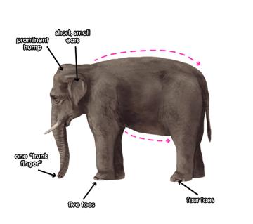 howtodrawelephants-1-3-asian-elephant-features