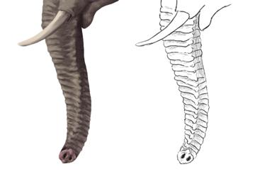 howtodrawelephants-3-2-elephant-trunk