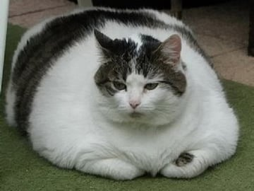 A fat cat is the perfect metaphor for a bloated WordPress theme