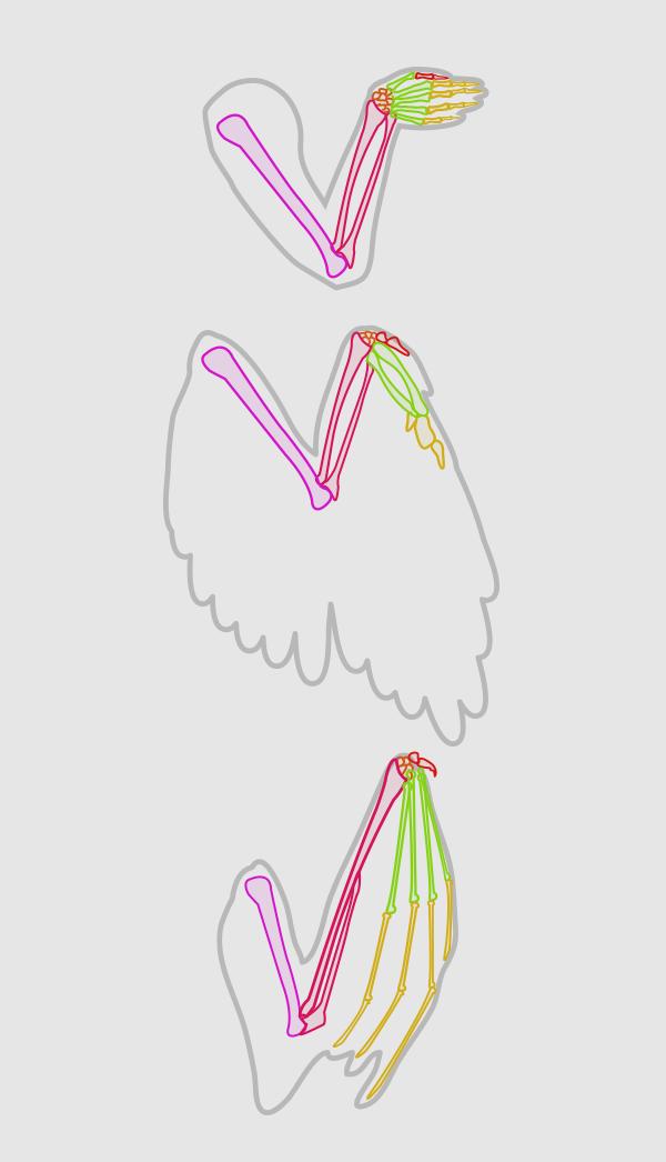 wings_1-2_wing_anatomy_folded