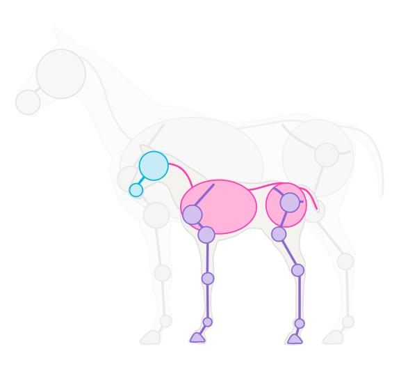 drawinghorse_1-5_foal_skeleton