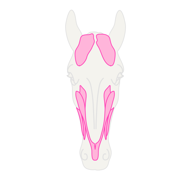 drawinghorse_5-12_head_front