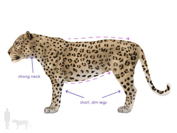drawingbigcats_1-1_leopard_silhouette
