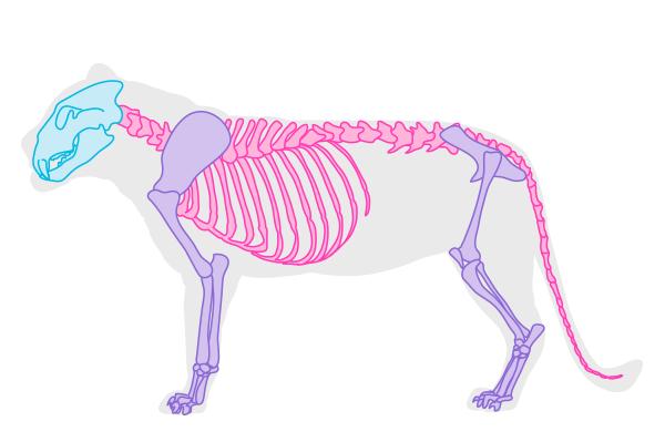 drawingbigcats_1-3_skeleton