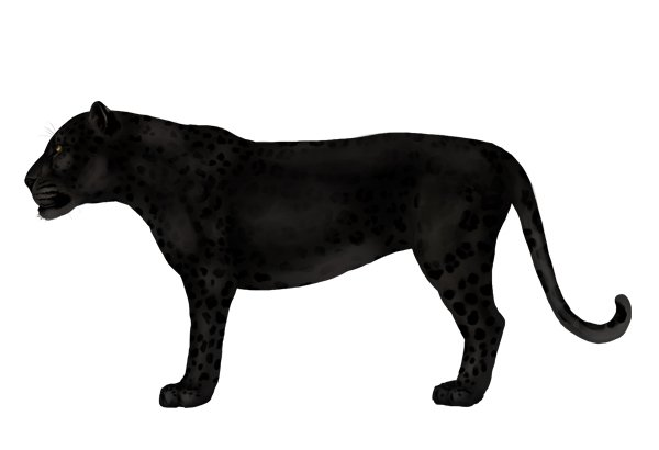 drawingbigcats_1-8_black_panther_leopard