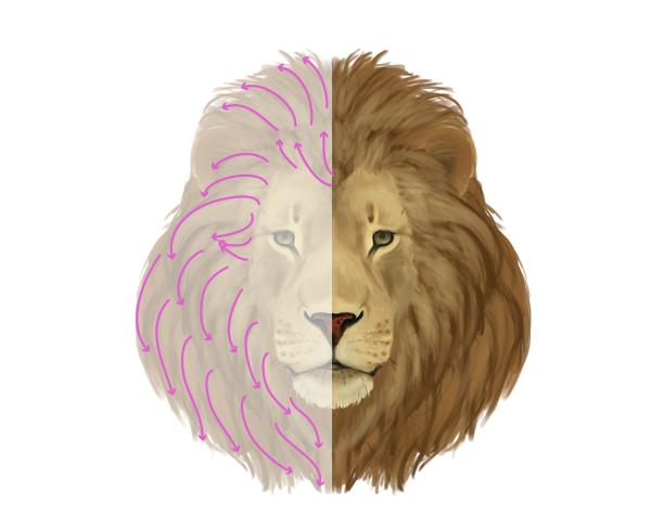drawingbigcats_2-8_lion_mane_front