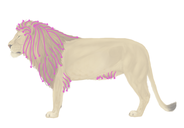 drawingbigcats_2-8_lion_mane_profile