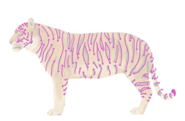 drawingbigcats_3-4_tiger_stripes