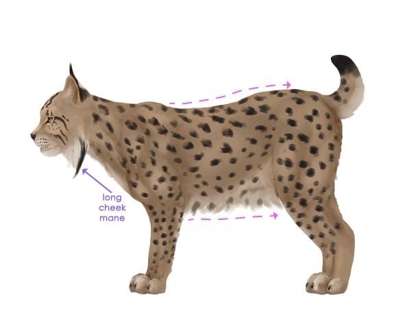 drawingbigcats_4-11_iberian_lynx
