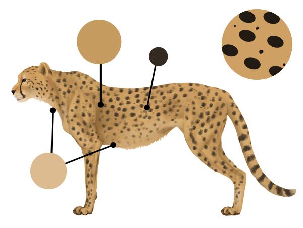 drawingbigcats_4-3_cheetah_colors