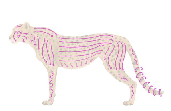 drawingbigcats_4-4_cheetah_spots