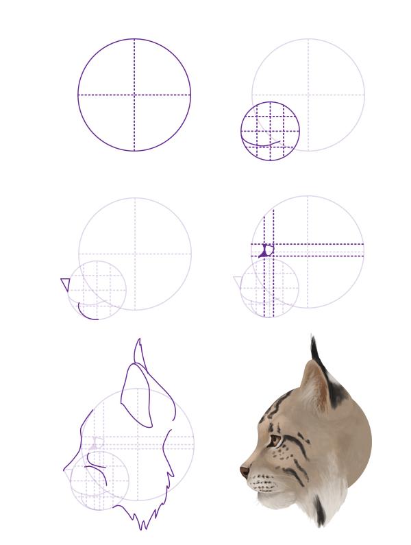 drawingbigcats_4-6_lynx_head_profile