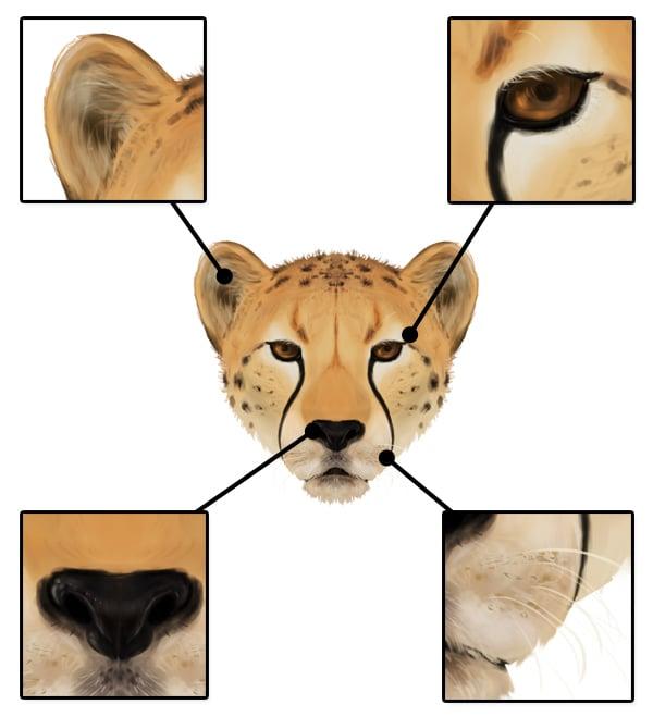 drawingbigcats_4-7_cheetah_head_details_front
