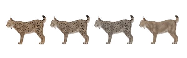 drawingbigcats_4-8_lynx_colors