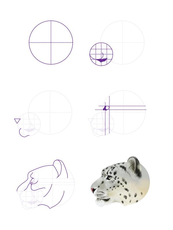 drawingbigcats_5-6_snow_leopard_head_profile