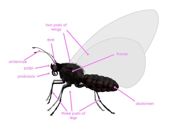 drawingbutterfly_1-1_body_anatomy_profile