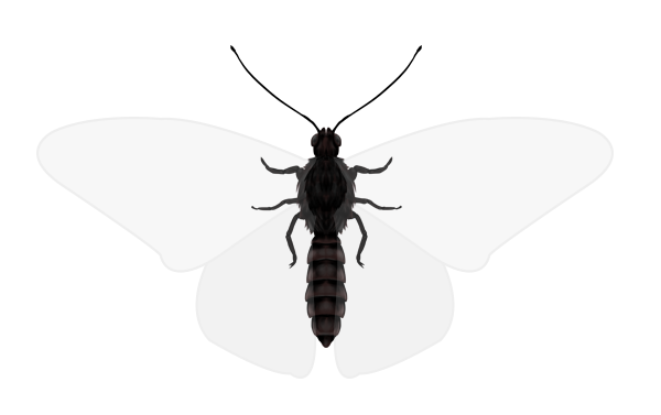 drawingbutterfly_1-1_body_anatomy_top
