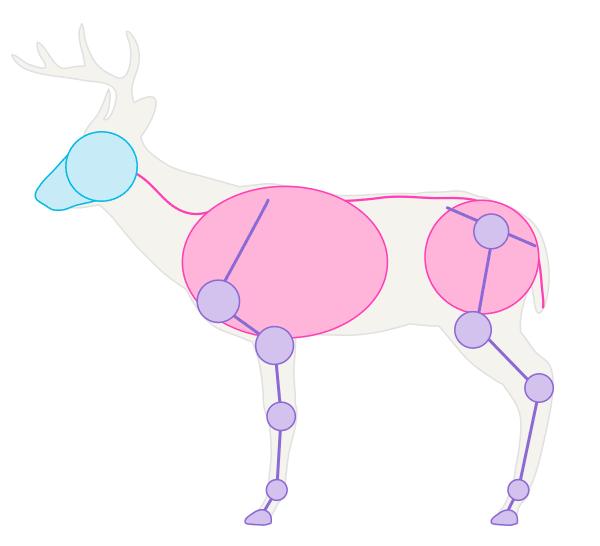 drawingdeer-1-7-white-tail-deer-skeleton